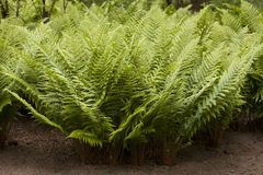 Ferns in garden Royalty Free Stock Photos