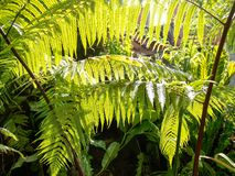 The ferns in the garden with sunlight are sent to the leaves royalty free stock photo