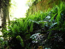 Ferns in the gorge. Near Iokido Cave Stock Images