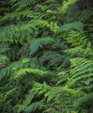 Ferns Royalty Free Stock Images