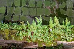 Ferns and green moss on a wall. Detail of some small fern plants and green moss on a wall Stock Images