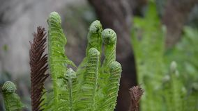The ferns grow in nature in the. Spring stock video