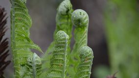 The ferns grow in nature in the. Spring stock footage