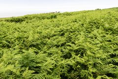 Ferns growing high on Great Saltee, Royalty Free Stock Image