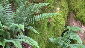 Ferns growing among mossy rocks stock video footage