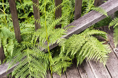 Ferns growing throug the stairs Royalty Free Stock Image