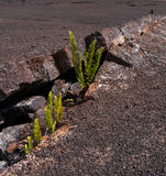 Ferns growing in volcanic rock Stock Photography