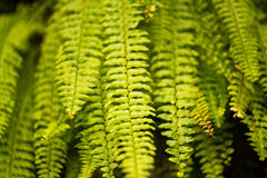 Ferns hanging Stock Photography