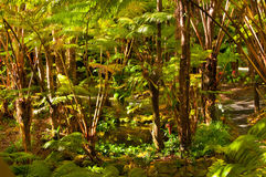 Ferns. Hawaian rainforest. Volcano National Park. Hawaii. Big Island Stock Photo