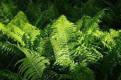 Ferns illuminated by sunlight Royalty Free Stock Photo