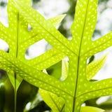 Ferns imaturos Imagens de Stock Royalty Free