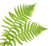 Ferns isolated on white, cutout Stock Photography
