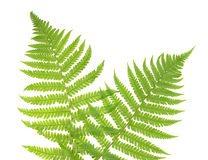 Ferns isolated on white, cutout.  Stock Photo