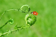 Ferns and lady bug. Young furry fern stems and ladybug Stock Photo