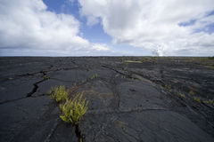 Ferns in Lava Field Crack Royalty Free Stock Image