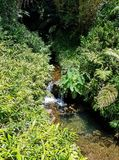 Ferns, Leafy Green Plants, and Tall Trees Surround the Waterfall in the Tropical Rainforest Jungle. Big Island, Honomu, Hawaii royalty free stock photography