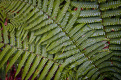 Ferns leaves Royalty Free Stock Photo