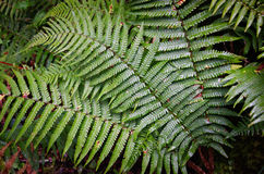 Ferns leaves Stock Images