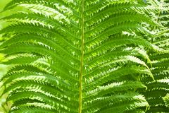 Ferns leaves green foliage natural floral fern background. Beautiful ferns natural floral fern background in sunlight. Leaf, nature, plant, growth, texture royalty free stock photography