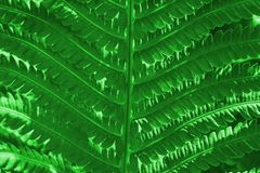 Ferns leaves green foliage natural floral fern background. Beautiful ferns natural floral fern background in sunlight. Leaf, nature, plant, growth, texture royalty free stock image