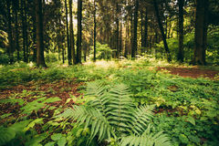 Ferns Leaves Green Foliage In Summer Coniferous Forest. Green Fern Bushes In Park Between Woods, Stock Photography