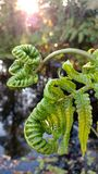 A Ferns Life in Hawaii. Fern birth witness and captured near Volcano, Hawaii on July 13, 2017 Stock Photos