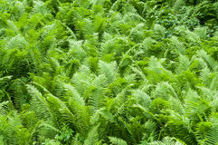 Ferns. A lot of forest fern leaves Stock Photography