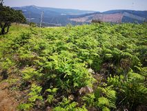 Ferns. Many ferns on top of the hill stock image