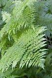 Ferns in Mt Revelstoke National Park Royalty Free Stock Image