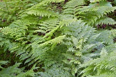 Ferns in Mt Revelstoke National Park Royalty Free Stock Images