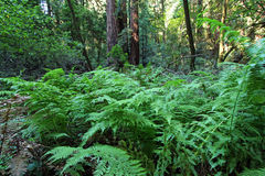 Ferns in Muir woods. Natural vegetation and ferns in the Muir woods National Monument royalty free stock image