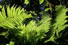 Ferns na natureza Fotos de Stock