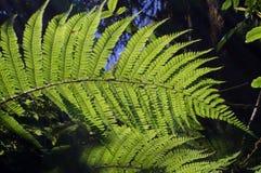 Ferns na natureza Imagem de Stock