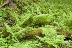 Ferns in the natural forest. Europe,poland royalty free stock image