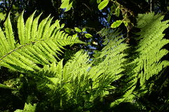 Ferns in nature. Sun shines through ferns leafs Stock Photos