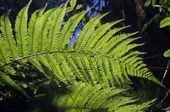 Ferns in nature. Sun shines through ferns leafs Stock Image