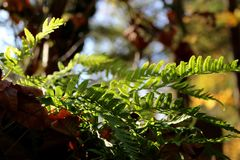 Light filtering through the spore-laden leafs of this fern royalty free stock image