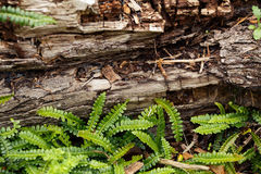 Ferns and Nurse Log. Decomposing wood surrounded by ferns royalty free stock image