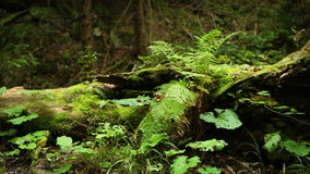 Ferns and other undergrowth vegetating near the old stump in the evergreen forest. 