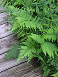 Ferns on Path. Ferns on Wooden Path, Vines Botanical Garden, GA stock photography