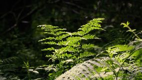 Ferns In The Sunlight With Insects Buzzing Around. Ferns in peaceful summer woods with many insects flying around stock video