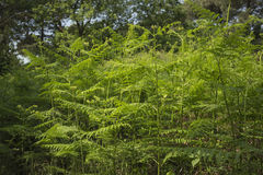 Ferns  in the pinewood forest near Marina Romea Royalty Free Stock Photo
