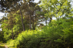 Ferns  in the pinewood forest near Marina Romea Royalty Free Stock Image
