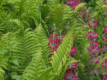 Ferns with primula Stock Photo
