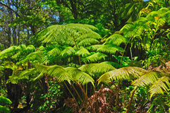 Ferns in the rainforest Royalty Free Stock Photos