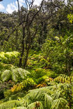The ferns in the rainforest, Big Island Royalty Free Stock Image