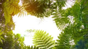 Ferns in the rainforest. View from the bottom up. Video 1080p - Ferns in the rainforest. View from the bottom up stock footage