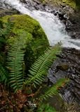Ferns and Rocks along a Stream. Rocks and rapids along a forest stream stock photos