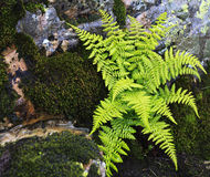 Ferns on a rocky ledge Royalty Free Stock Photos