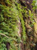 Ferns and small green moss grow on rocky mountain walls. For the natural background stock image